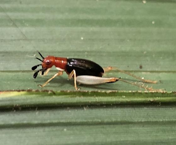 Handsome trig/red-headed bush cricket - Phyllopalpus pulchellus - female