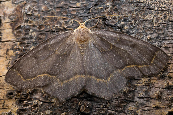 Lambdina fiscellaria - female
