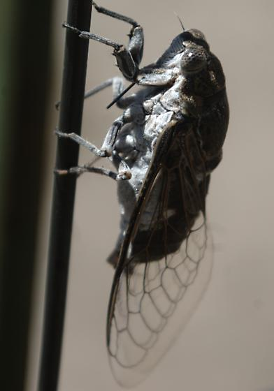 Cicada with white markings on back and white underparts--Cacama? - Cacama valvata - male