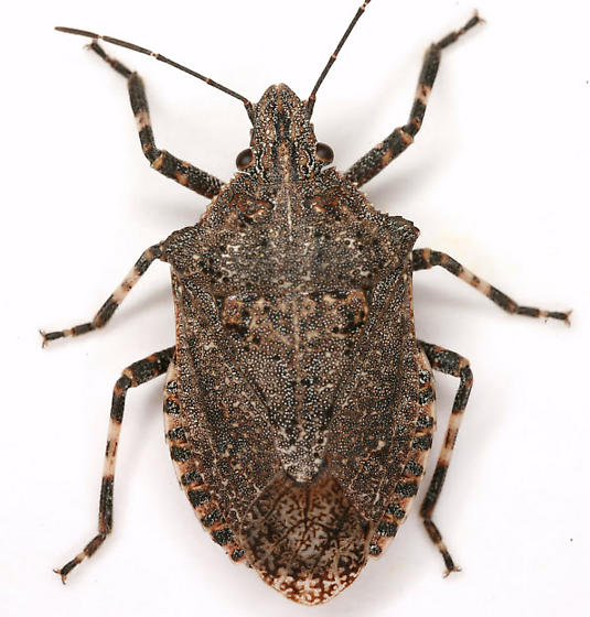 Brochymena quadripustulata (Fabricius) - Brochymena quadripustulata