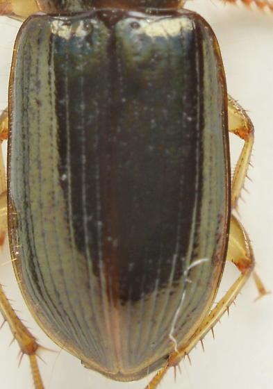 921W12 - Selenophorus striatopunctatus