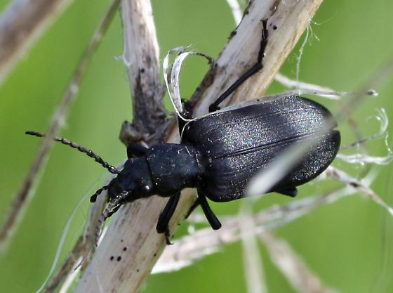 Large black beetle - Ditylus caeruleus
