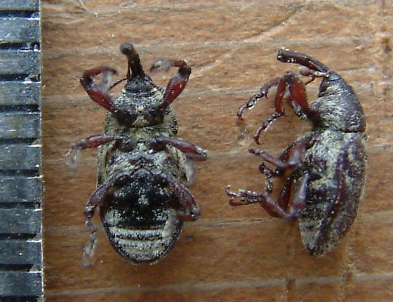 Star Thistle Weevil - Eustenopus villosus