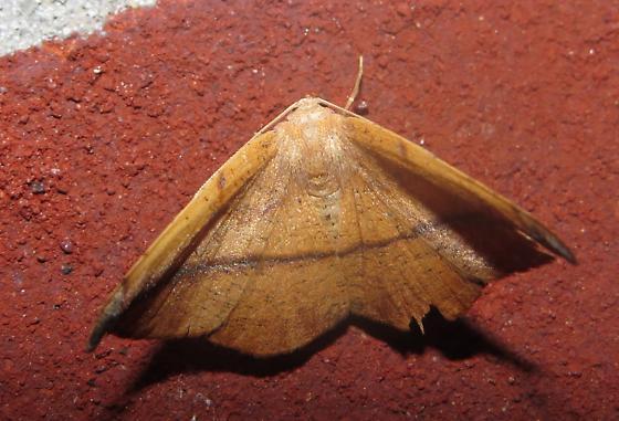 Moth - Patalene olyzonaria - female