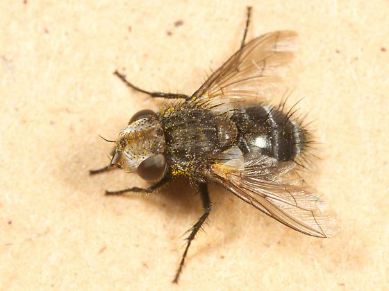 Fly - Gonia fuscicollis