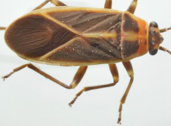 Ochrimnus mimulus - female