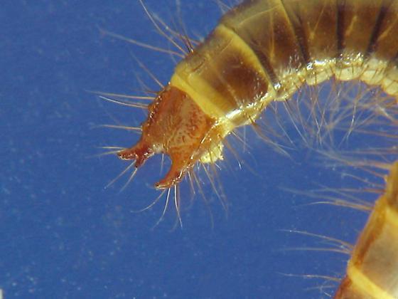 J larvae predators? - Mycetochara binotata