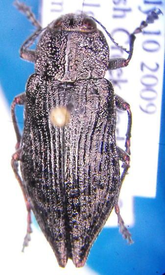 Buprestid - Poecilonota montana