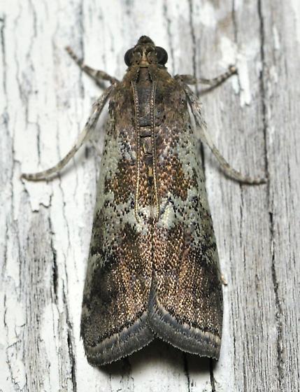 Brown and mint green moth - Salebriaria squamopalpiella