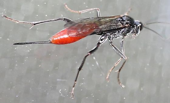 Ichneumon - Cryptus albitarsis - female