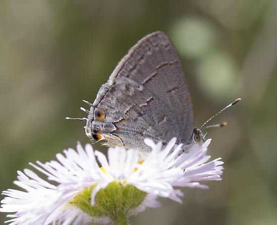 Butterfly - Ministrymon leda
