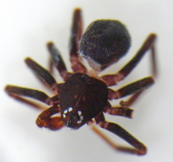 Zodarion sp. male - Zodarion - male