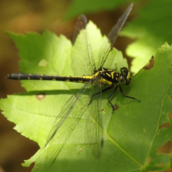 Dragonfly - Lanthus vernalis