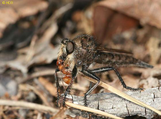 Pogon ant eater - Efferia pogonias - female