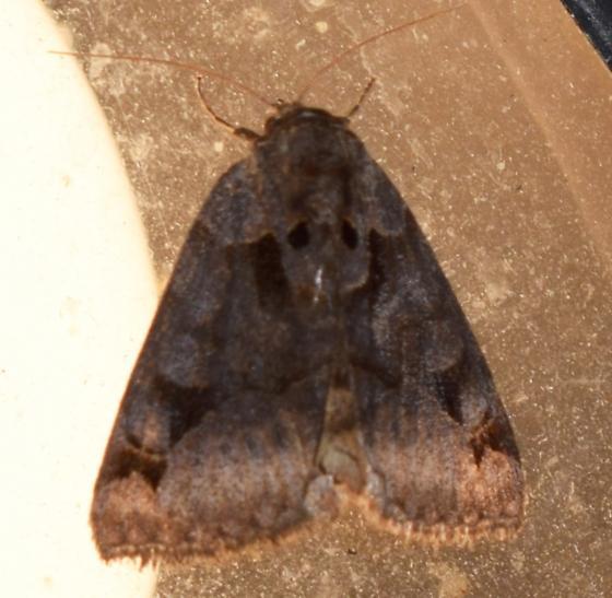 Euclidia cuspidea - Toothed Somberwing - Hodges#8731 - Euclidia cuspidea