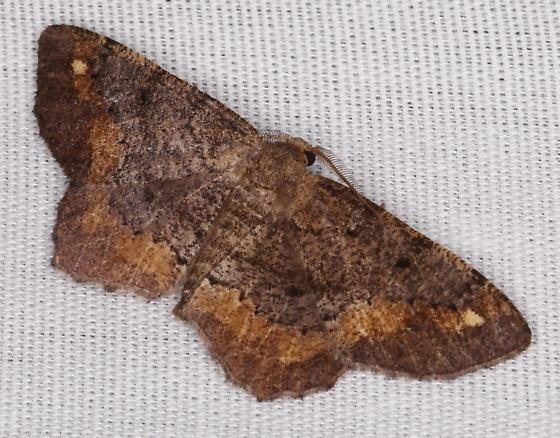 Hypagyrtis unipunctata - male