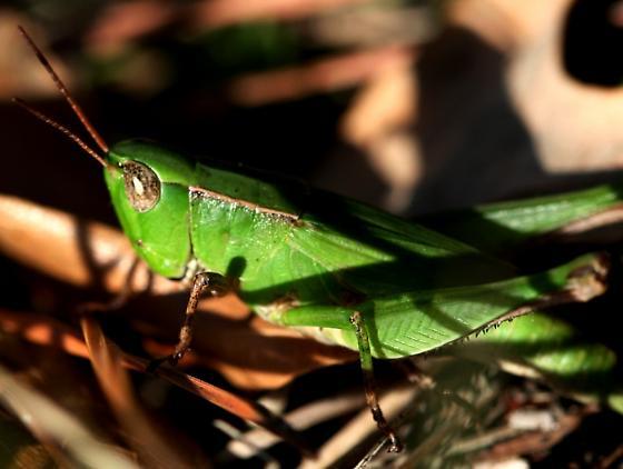 ID needed please - Dichromorpha viridis - female
