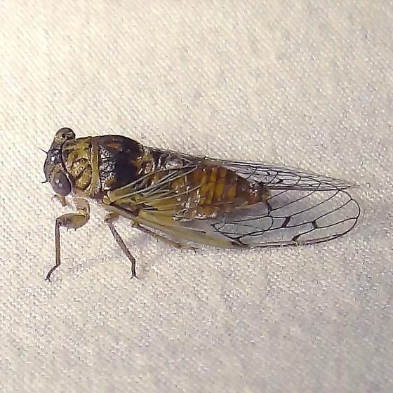 Cicada ID Request - Pacarina puella