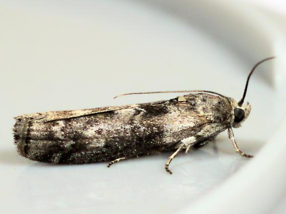 Moth - Sciota