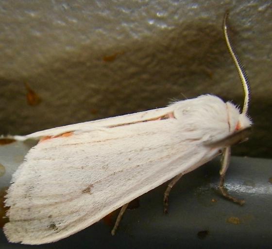 Moth A lateral 8.4.17 - Euchaetes elegans - male