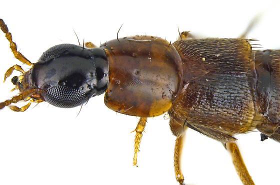 Paederinae? - Heterothops