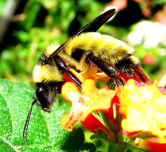 American bumble bee - Bombus pensylvanicus - male