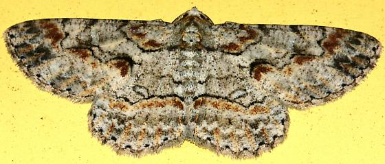 White Brown Black Speckled Moth - Iridopsis defectaria - male