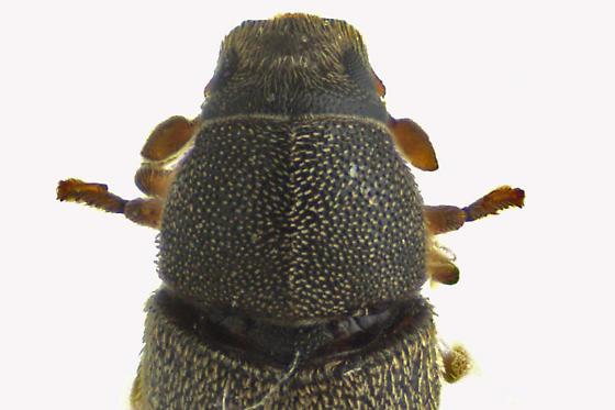 Curculionidae - Polygraphus rufipennis