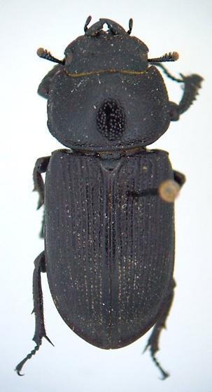 Dorcus parallelus - female