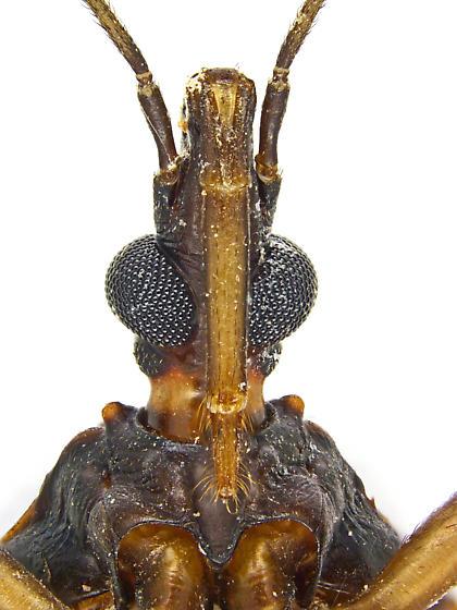 Triatoma rubida - female