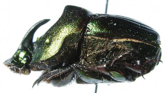 Phanaeus amithaon - male