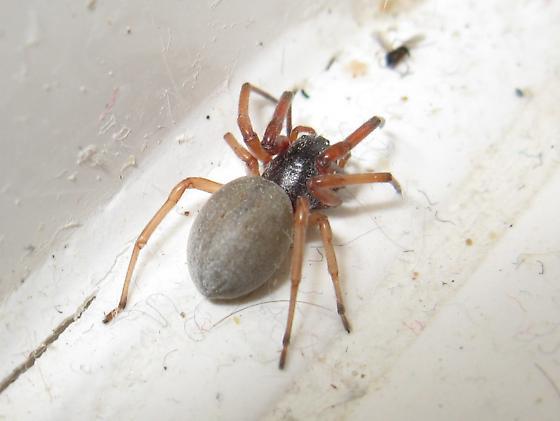 Michigan Spider Trachelas Bugguidenet
