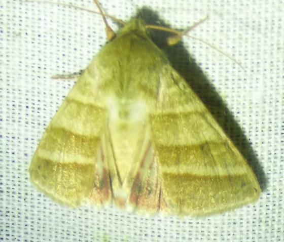 unknown moth - Chloridea virescens