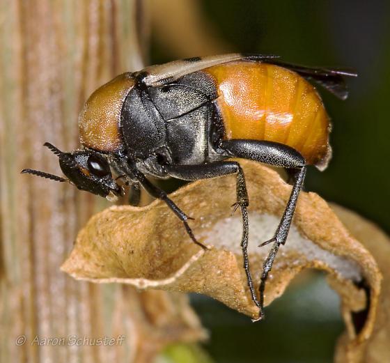Macrosiagon pectinatum? - Macrosiagon octomaculata - female