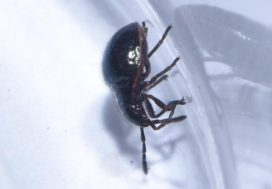 Hemiptera - black with red markings on ventral surface
