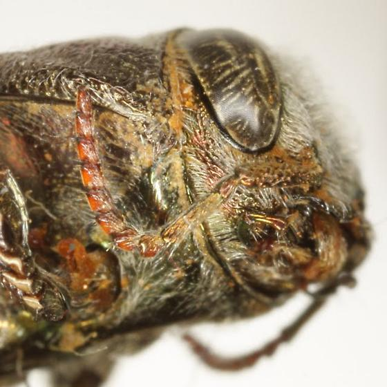 Chrysobothris pseudacutipennis Obenberger - Chrysobothris pseudacutipennis