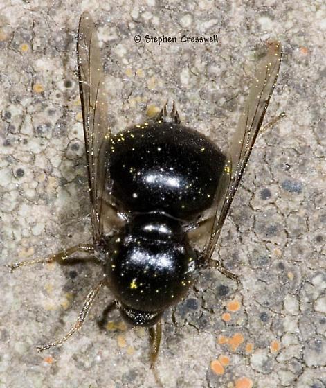 Who am I? - Acrocera bimaculata - female