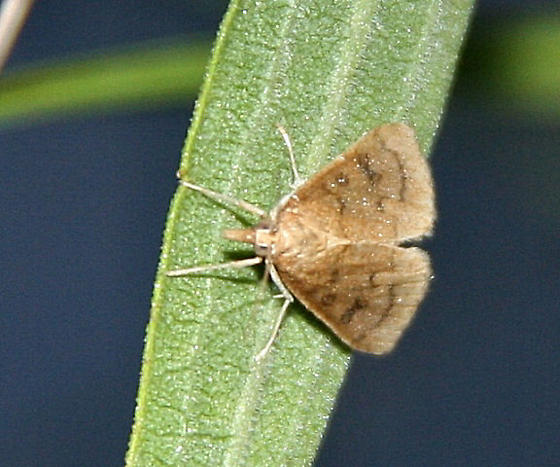 Think this is a Crambidae - Is it the Celery leaftier? - Fumibotys fumalis