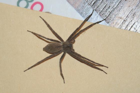 Large Spider - Pisaurina mira