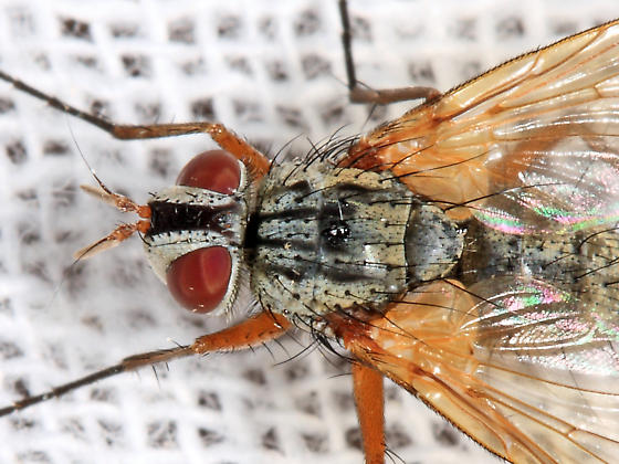 Tachinid - Cryptomeigenia - female