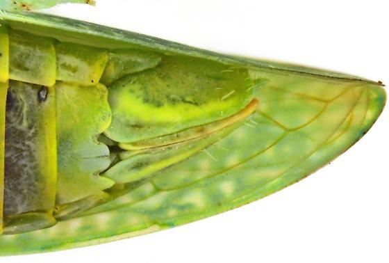 Female, Gyponini - Rugosana - female