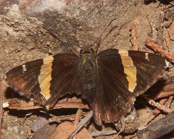 Butterfly - Autochton cellus