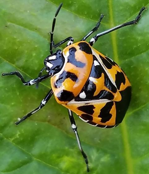 Harlequin Bug? - Murgantia histrionica
