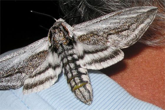 large moth - Sagenosoma elsa