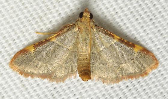 Green moth - Hypsopygia binodulalis