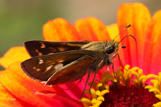 unidentified Hesperiidae 3 - Atalopedes campestris