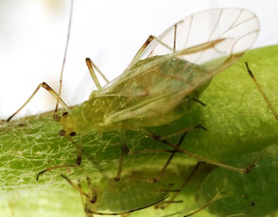 Winged female Pea aphid? - Acyrthosiphon pisum - female