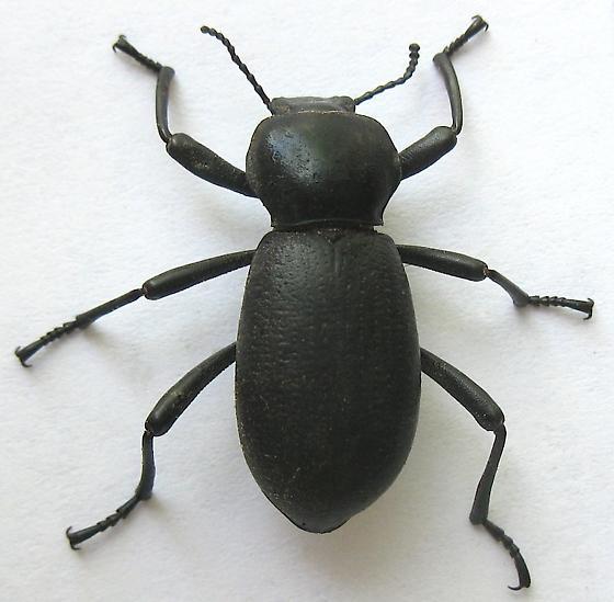 Darkling Beetle - Coelocnemis