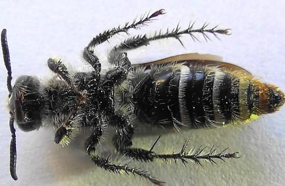 Grub-lover (ventral) - Dielis tolteca - female
