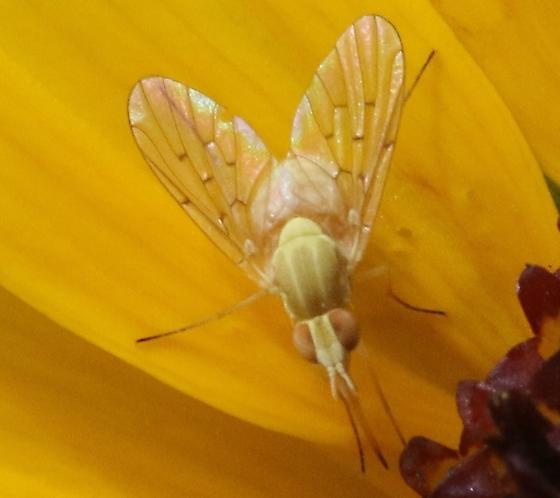 Yellow bee flies on Helianthus - Poecilognathus